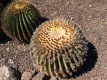 Echinocactus grusonii, popularly known as the golden barrel cactus. Golden ball or, amusingly, mother-in-law`s cushion Stock Photo