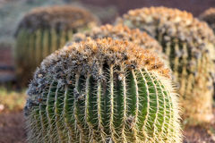 Echinocactus grusonii, popularly known as the golden barrel cactus,. Golden ball or, amusingly, mother-in-law`s cushion Stock Photo