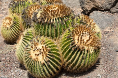 Echinocactus grusonii, popularly known as the golden barrel cactus. Golden ball or, amusingly, mother-in-law`s cushion Royalty Free Stock Photography