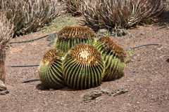 Echinocactus grusonii, popularly known as the golden barrel cactus. Golden ball or, amusingly, mother-in-law`s cushion Stock Images