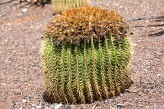 Echinocactus grusonii, popularly known as the golden barrel cactus,. Golden ball or, amusingly, mother-in-law`s cushion Royalty Free Stock Photography