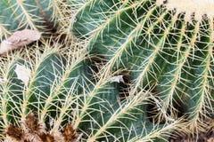 Echinocactus Royalty Free Stock Image