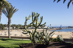 Echinocactus grusonii, popularly known as the golden barrel cactus,. Pachycereus cactus on Fuerteventura, Canary Islands, Spain stock photos