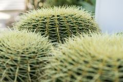 Echinocactus grusonii succulent close up background texture pattern. Echinocactus succulent close up background texture pattern spikes design royalty free stock photography