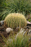 Echinocactus grusonii succulente Royalty Free Stock Photos