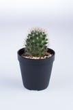 Echinocactus grusonii V albispinus royaltyfria bilder