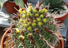 Echinocactus grusonii variety of cactus plant Royalty Free Stock Photos