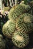 Echinocactus Grusonii w ogródzie zdjęcia stock