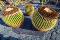 Echinocactus in Jardin de Cactus,  Lanzarote, Canary Islands, Sp Royalty Free Stock Photos