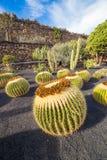 Echinocactus in Jardin de Cactus,  Lanzarote, Canary Islands, Sp Stock Image