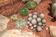 Echinocactus-Kaktus lizenzfreie stockfotografie