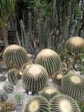 Echinocactus meksykanin Obraz Stock