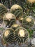 Echinocactus meksykanin Zdjęcia Royalty Free