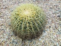 Echinocactus, of Mexican origin, Golden Barrel Cactus. Nature and botany, decorative plant for gardens, natural cactus with thorns stock photography