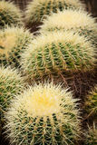 Echinocactus plants Royalty Free Stock Photo