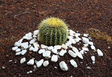 Echinocactus Stock Photos