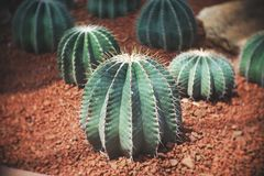 Echinocactus sp., Cactus in garden has a brown stone around, Cacti, Cactaceae, Succulent, Drought tolerant plant. Echinocactus sp., Cactus in garden has a brown stock images