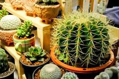 Echinocactusgrusonii, cactus Stock Foto's