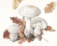 Echinocephala мухомора гриба Стоковые Изображения