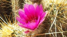 Echinocereus开花在明亮的阳光下的Engelmannii仙人掌在春天在菲尼斯,亚利桑那 免版税图库摄影