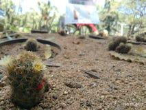 Echinocereus Pectinatus стоковые фотографии rf