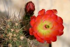Echinocereus plant and flower stock photo