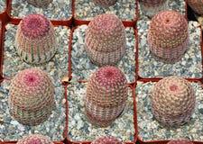 Echinocereus rigidissimus Stock Photography