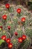 Echinocereus triglochidiatus Claret-cup cactus flowers Stock Photos
