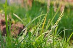 Echinochloa colonum, grass weed in sugarcane Stock Photo