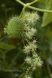 Echinocystis lobata zdjęcie royalty free