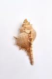 Echinoderm seashell odizolowywający na bielu zdjęcie royalty free
