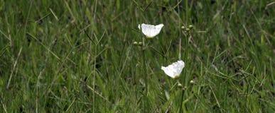 Echinodorus, flor blanca que origina en Américas Fotografía de archivo