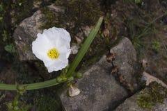 Echinodorus grandiflorus, medicinalväxt som påbörjar i Amerika Arkivfoton