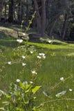 Echinodorus vit blomma som påbörjar i Americas Royaltyfri Fotografi