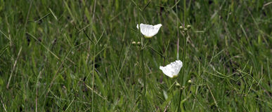 Echinodorus vit blomma som påbörjar i Americas Arkivbild