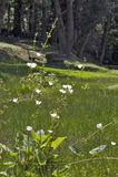 Echinodorus, weiße Blume, die aus Amerika stammt Lizenzfreie Stockfotografie