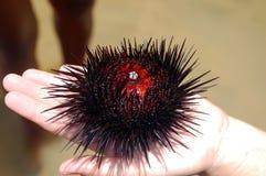 Echinoidea Lizenzfreie Stockfotografie