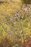 Echinops στη στέπα Στοκ εικόνες με δικαίωμα ελεύθερης χρήσης