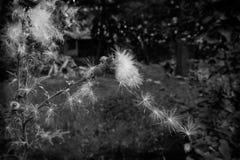 Echinops στοκ εικόνες με δικαίωμα ελεύθερης χρήσης