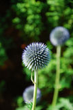 Echinops. The image shows the blossom of an echinops royalty free stock photo