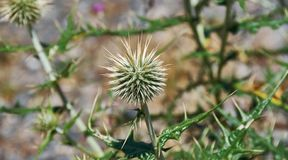 Echinops chantavicus. East to central Asia royalty free stock images
