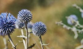 Echinops chantavicus. East to central Asia stock photos