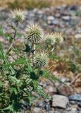 Echinops chantavicus. East to central Asia stock image