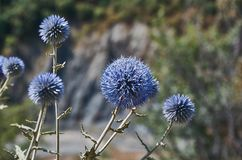 Echinops chantavicus. East to central Asia royalty free stock photo