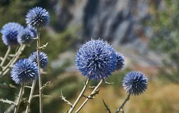 Echinops chantavicus. East to central Asia stock photography