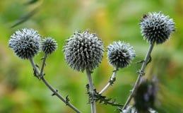 Echinops di fioritura delle piante selvatiche Immagine Stock Libera da Diritti