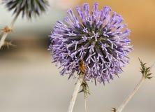 Echinops esferocéfalo con la abeja Fotos de archivo