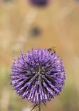 Echinops esferocéfalo con la abeja Imágenes de archivo libres de regalías