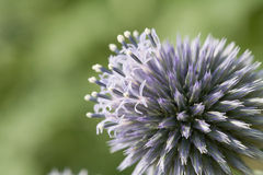 Echinops Flower. Close up of a Echinops Flower royalty free stock photos