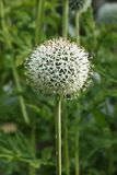 Echinops flower. A bright echinops flower russian globe thistle or globethistle , spherical flower of white or pale blue disc florets , vertical composition stock images